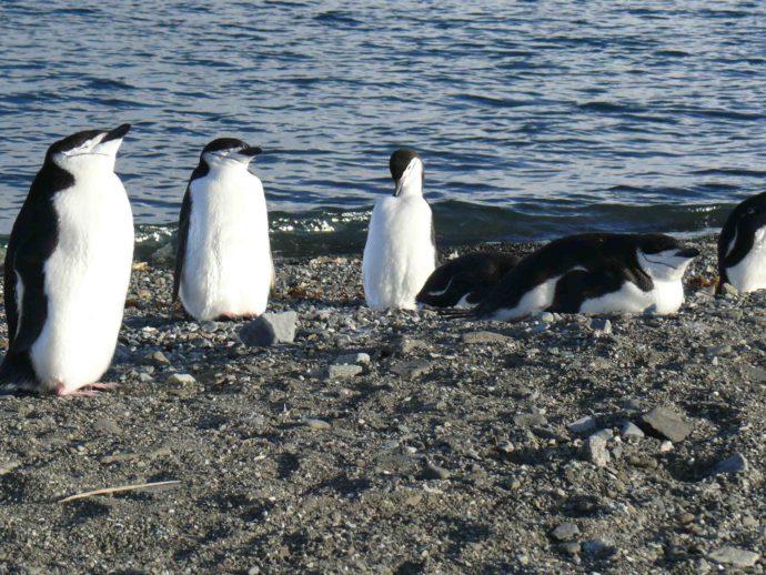 Антарктический пингвин полицейский