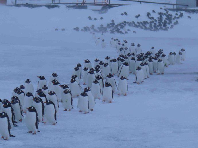Миграция пингвины папуа
