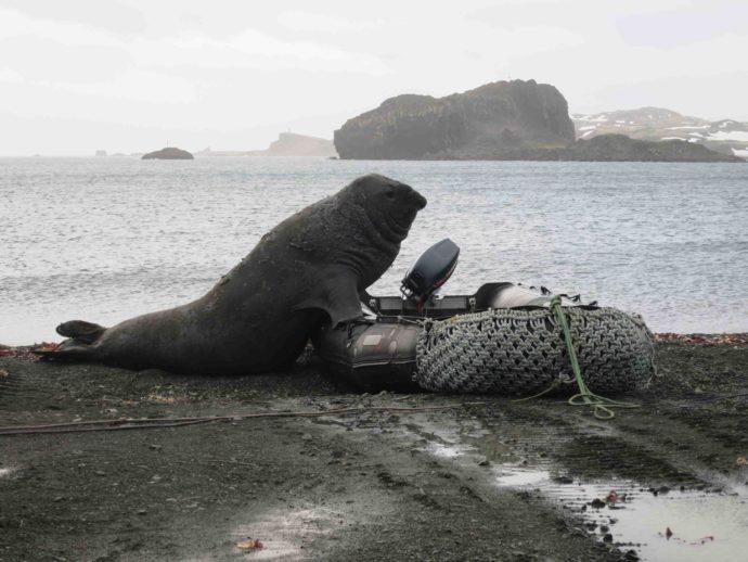 Морской слон лезет в лодку