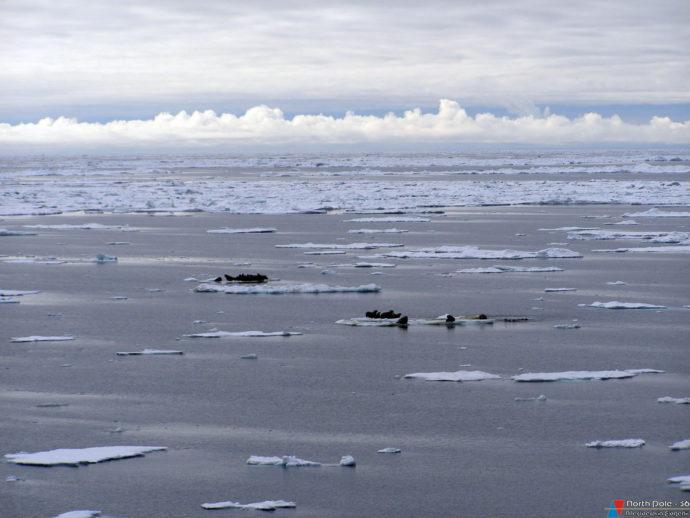 Чукотское море. Моржи на льдинах