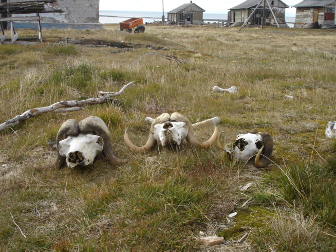 Сад голов овцебыков