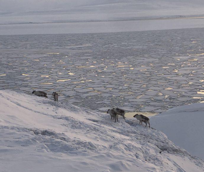 Deers of Isfjord